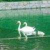 白鳥の親子♡の画像