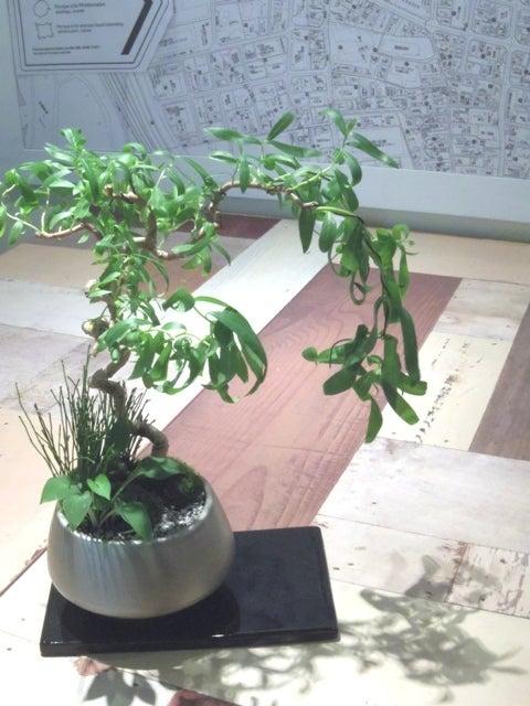 六角堂柳 琳葉盆栽