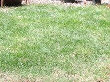 だけど、これもうちの芝生