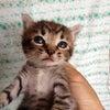 【4匹共トライアル決定!】NO.819 公園に捨てられていたキジ子猫4匹!の画像