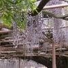 藤の花の下でお茶会 の画像