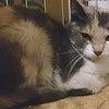 【里親様決定!】NO.821 不思議な三毛色の美猫の画像