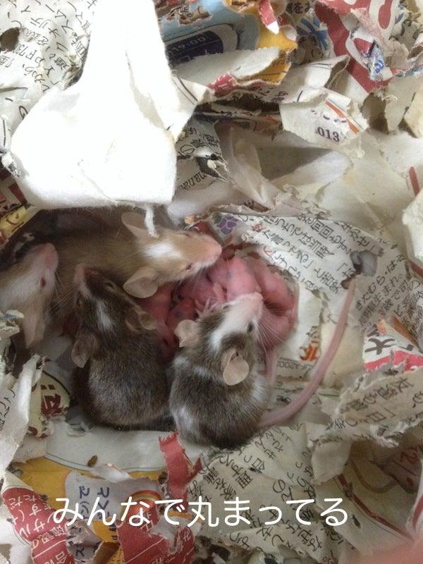 マウス繁殖