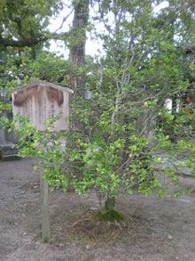 トウオガタマの木