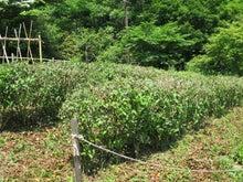 茶畑刈り込み