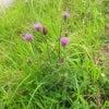 アザミの花の画像