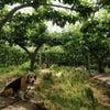 梨の袋かけの画像