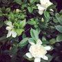 クチナシの花〜♪