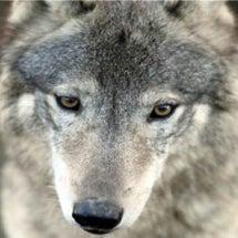 オオカミは目でコミュ…