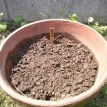 種蒔き生活~枇杷の木…