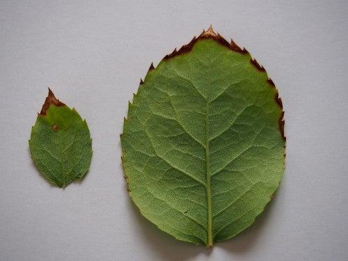 バラの褐斑病 | 小さな庭でガーデニング