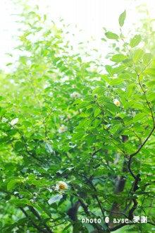東林院 「沙羅の花を愛でる会」