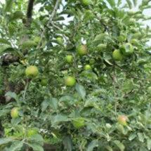 りんごが大きくなって…