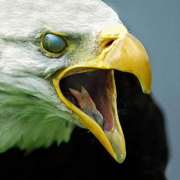 「ハヤブサ 猛禽 類」の画像検索結果