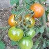 色づくトマトの画像
