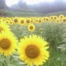 香川のひまわり畑