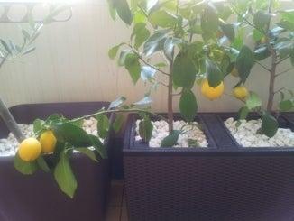 レモンの木たち