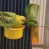 みみちゃん、サラダ菜を食べている写真の画像