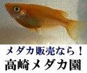群馬のメダカ販売店!高崎メダカ園