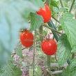 北海道家庭菜園トマト…