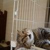 家族募集の猫ちゃんたち(猫子堂さんより)の画像