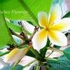 ハワイのプルメリアが♪の画像