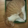 今日の箱入りにゃんこ