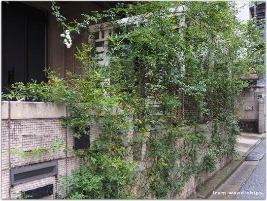 浦和市 バラの庭 白いバラ