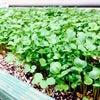 パオパオ菜園その後の画像