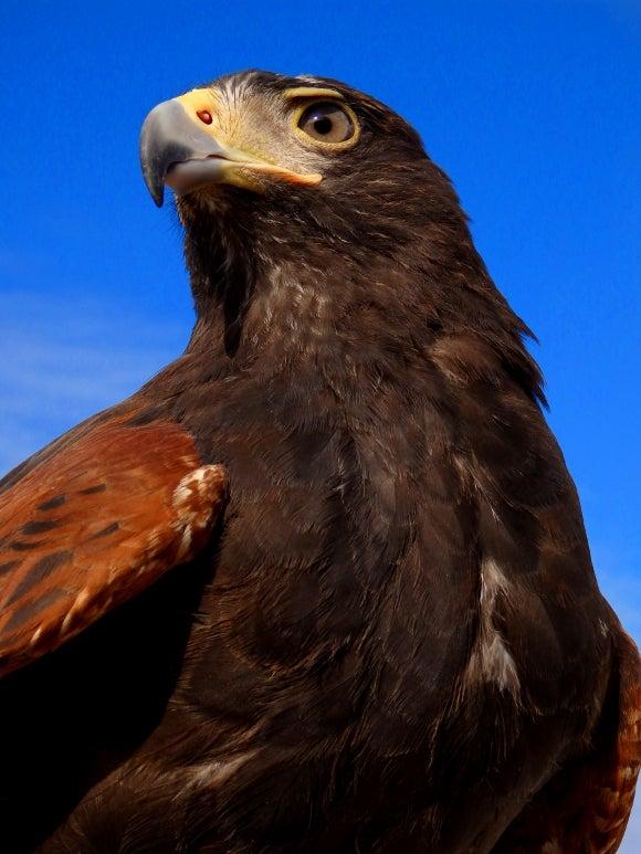猛禽類は人を襲いません 人を食べません   フクロウのいる家