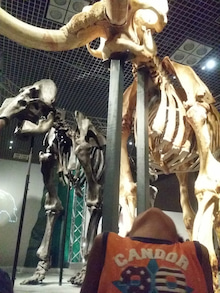 マンモスたちの化石