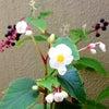 シロシュウカイドウ(白秋海棠)が咲きましたの画像