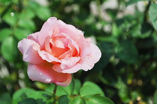 140914_rose1