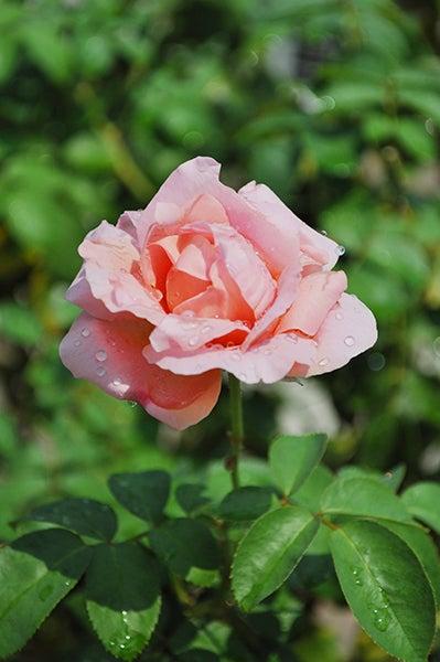 140914_rose2