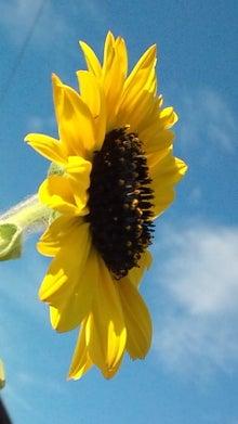 小さい向日葵