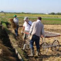 27年丸芋栽培準備開…