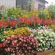 ☆初秋のケリー村の花…