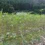 オクラの畑。