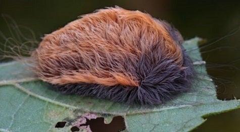 の 幼虫 フランネル モス サザン 「毛は毒針~蛾の一種「サザン・フランネル・モス」の幼虫~ネコのような毛を持つことから「プス・キャタピラー(ネコ毛虫)」とも~格子状の刺し傷~灼熱痛~頭痛や発熱、嘔吐、頻脈、けいれんなど~猛暑~分布域が北上」