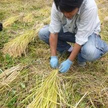 稲刈り体験2015 …
