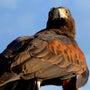 鷹狩りというレジャー…