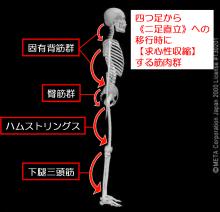 心性 収縮 求 横歩きリハビリの効果と中殿筋の筋活動は?