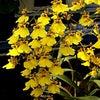 ロウのお花レッスン「オンシジウム」♪の画像