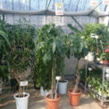 中古観葉植物 画像 …