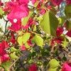 元気に冬越しみちるのハーブの庭 3の画像