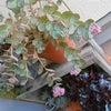 多肉☆ミセバヤの花が咲きました。の画像
