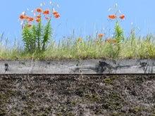 萱葺き屋根の上の花