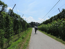 ホップ畑の道
