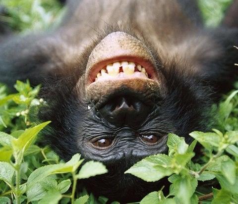 共食い チンパンジー