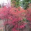 小さな紅葉の画像